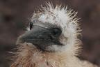 J'AI MANGE MON PEIGNE !     Avant l'apparition des plumes noires, le fou est recouvert d'un duvet qui le rend sensible au froid et à l'humidité