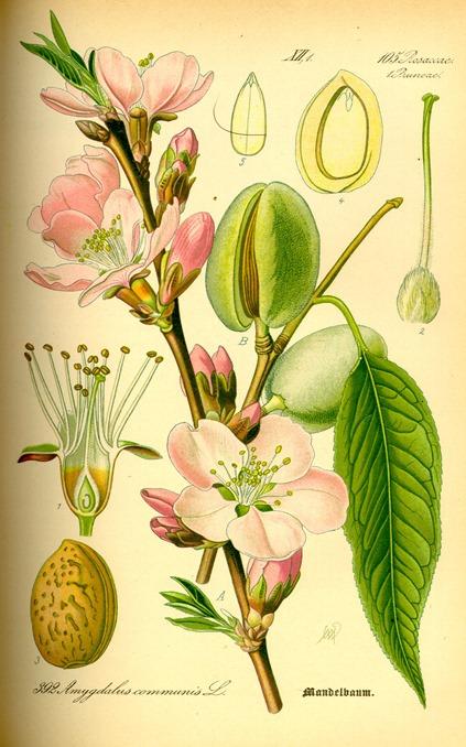 Prunus_dulcis