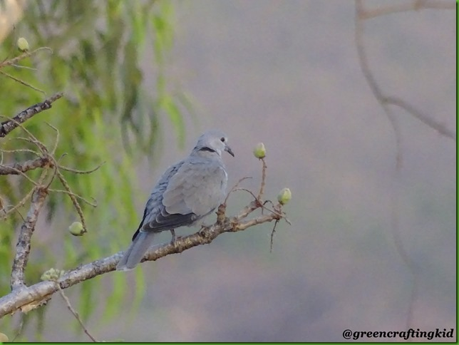 Eursian collared Dove