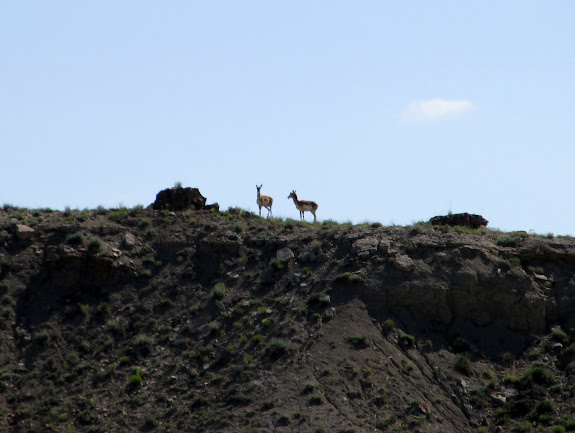 Pronghorn near the Victor Cemetery