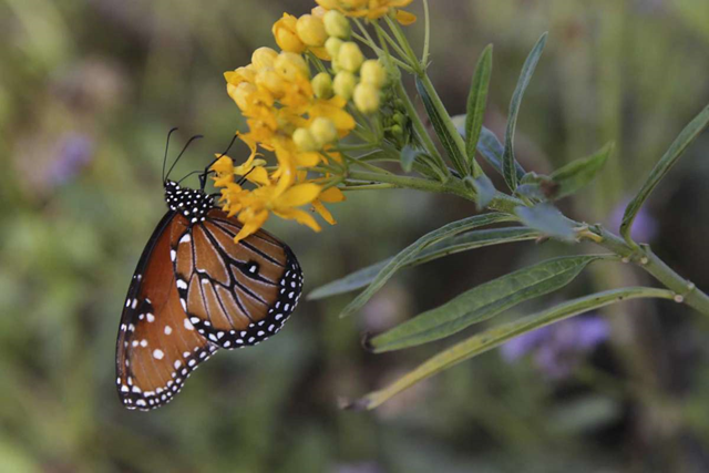 A Monarch Queen takes nectar from its host plant, the Tropical Milkweed, at the National Butterfly Center. Plans are for Trump's border wall to be built along the levee that will cut The National Butterfly Center in half. The NBC is near Mission, TX. Photo: Bob Owen / San Antonio Express-News