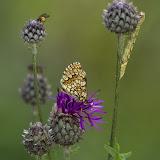 Шашечница аталия (Melitaea athalia), гусеничка и две мушки