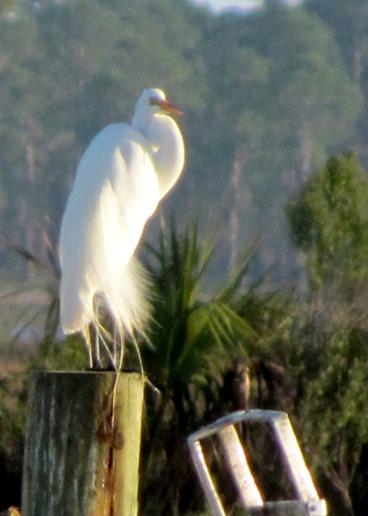 1702138 Feb 23 A Great Egret Up Close