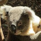Newcastle - Blackbutt Reserve - Koala