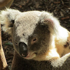 Newcastle - Blackbutt Reserve - Koala