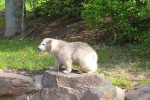 Polar Bear Flocke