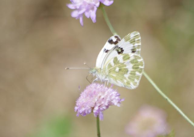 Pontia daplidice (Linnaeus, 1758), mâle. Les Hautes-Courennes, Saint-Martin-de-Castillon (Vaucluse), 14 juin 2015. Photo : J.-M. Gayman