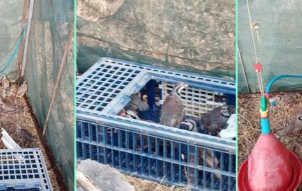 Κυνηγετικός σύλλογος Καλαμάτας: Εμπλουτισμός βιοτόπου με ορεινή πέρδικα (Γκρέκα)