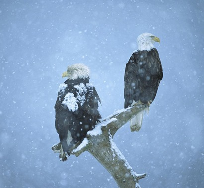 bald-eagles-in-the-snow-28980-1920x1200