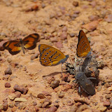 Acraea bonasia bonasia FABRICIUS, 1775 et Sevenia amulia CRAMER, 1777. Piste vers Ebogo, Cameroun, 8 avril 2012. Photo : J.-M. Gayman