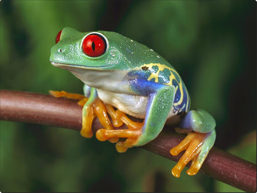 Red-Eyed Tree Frog, Central America.jpg