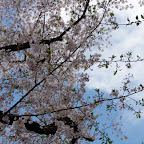 Cherry Blossom Viewing 2016