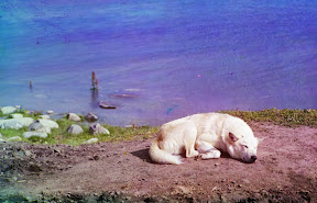 Собака спит на берегу озера Линдозеро в 1910 году