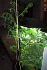 12 week tomato clone - maybe flowered too much, now has over a dozen blueberry-or-bigger tomatoes, biggest two squashed baseball size