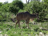 Kudu - Linyanti Concession (Chobe Region)
