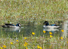 Pygmy Geese, male and female