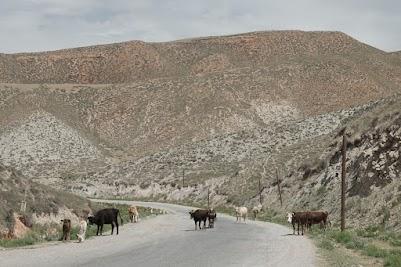 Kühe auf der Straße nach Naryn