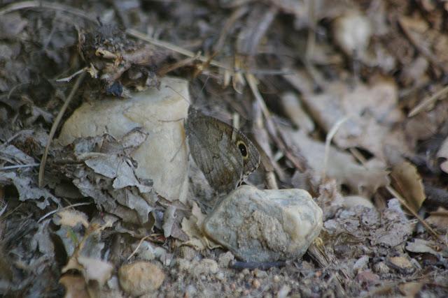 Neohipparchia statilinus (Hufnagel, 1766), femelle. Bages (Pyr. orientales), 13 août 2013. Photo : J.-M. Gayman