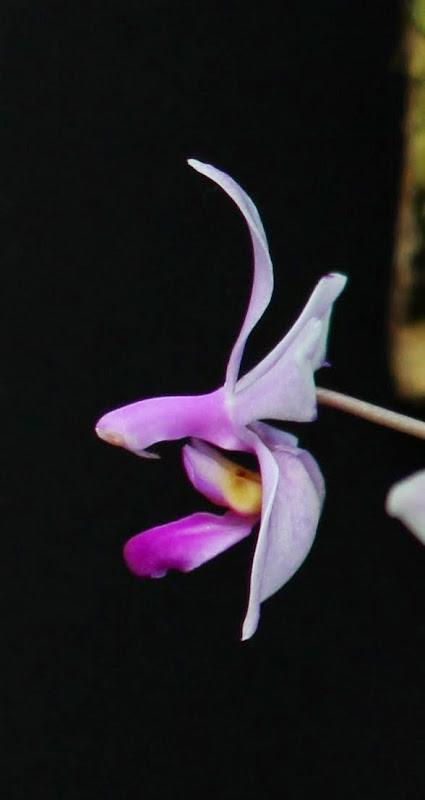 Phalaenopsis wilsonii IMG_0987