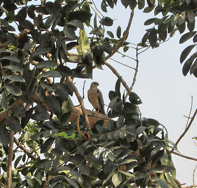 Shikra Adult Male 5-Apr-2014 (Pic: Usha Rajagopalan)