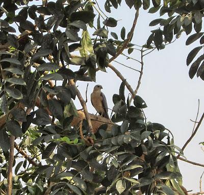 Shikra Adult Male 5-Apr-2014 (Pic: Usha Rajagopalan)