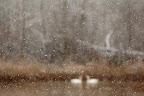 AMOUR FLOU   Couple de cygnes tuberculés en hiver au marais de l'Etournel
