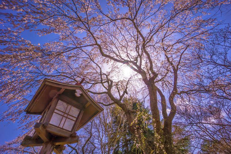 富士ビューホテル 桜 写真5
