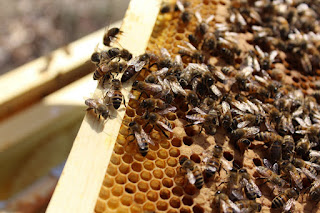 PLC Apiary - Queen%2BBeatrice%2Bready%2Bfor%2Ba%2Bgreat%2Byear.JPG