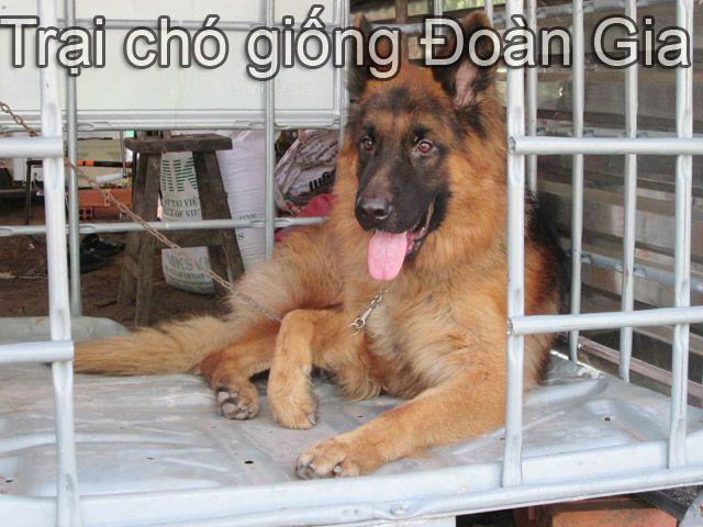 Trại chó Giống Đoàn Gia - Mua bán chó becgie đức thuần chủng ở TPHCM