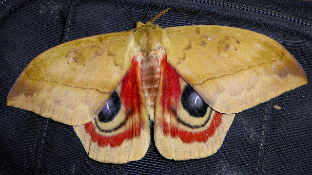 Saturnidae : Hemileucinae : Automeris janus (Cramer, 1775), mâle. San Juan, près de Caranavi, 1000 m (Yungas, Bolivie), 22 décembre 2014. Photo : Jan-Flindt Christensen
