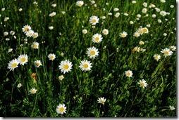 margaritas flores (18)
