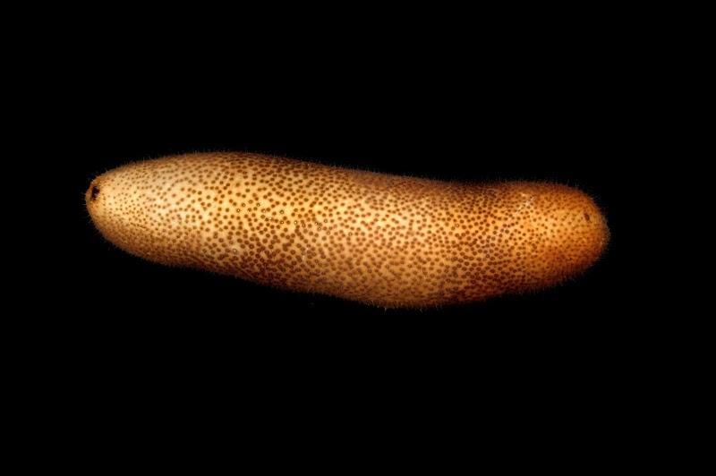 Bohadschia vitiensis. Kosrae, Federated States of Micronesia.
