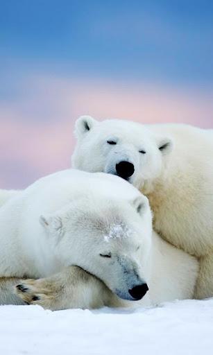 アラスカ白クマ lwp
