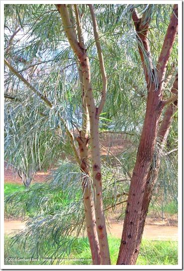 160215_UCDA_AcaciaGrove_Acacia-stenophylla_002
