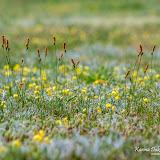 Осока (Carex sp.)