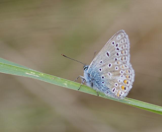 Polyommatus icarus icarus (ROTTEMBURG, 1775), mâle. Les Hautes-Lisières (Rouvres, 28), 2 octobre 2012. Photo : J.-M. Gayman