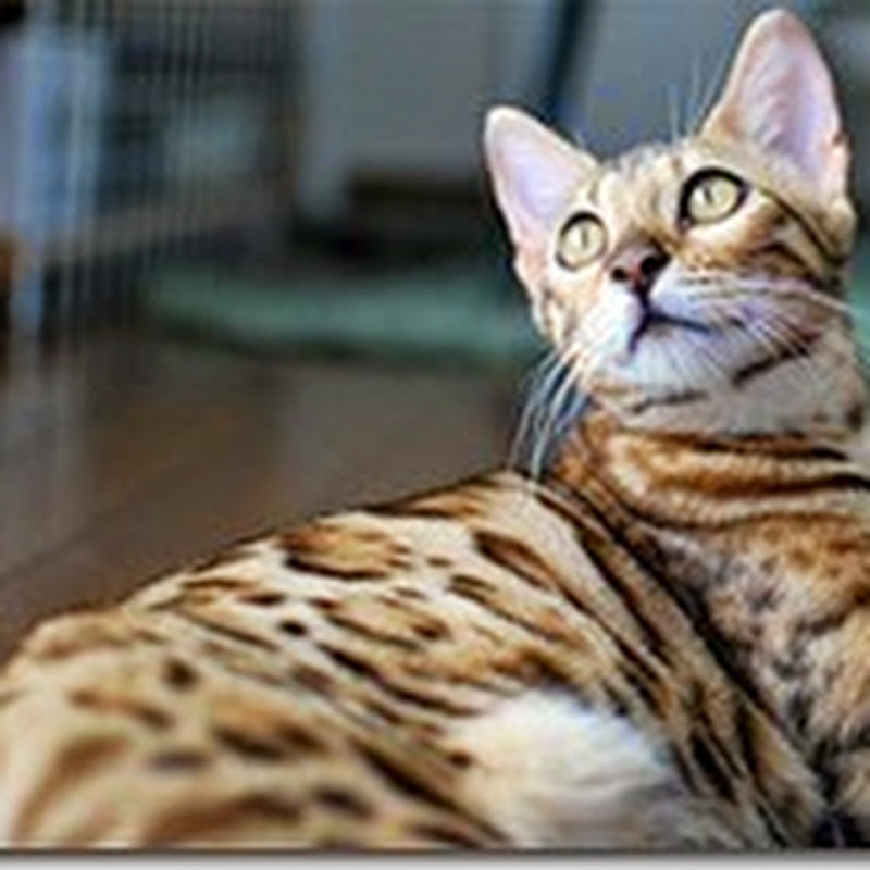 Finding the cause of blindness in Bengal cats