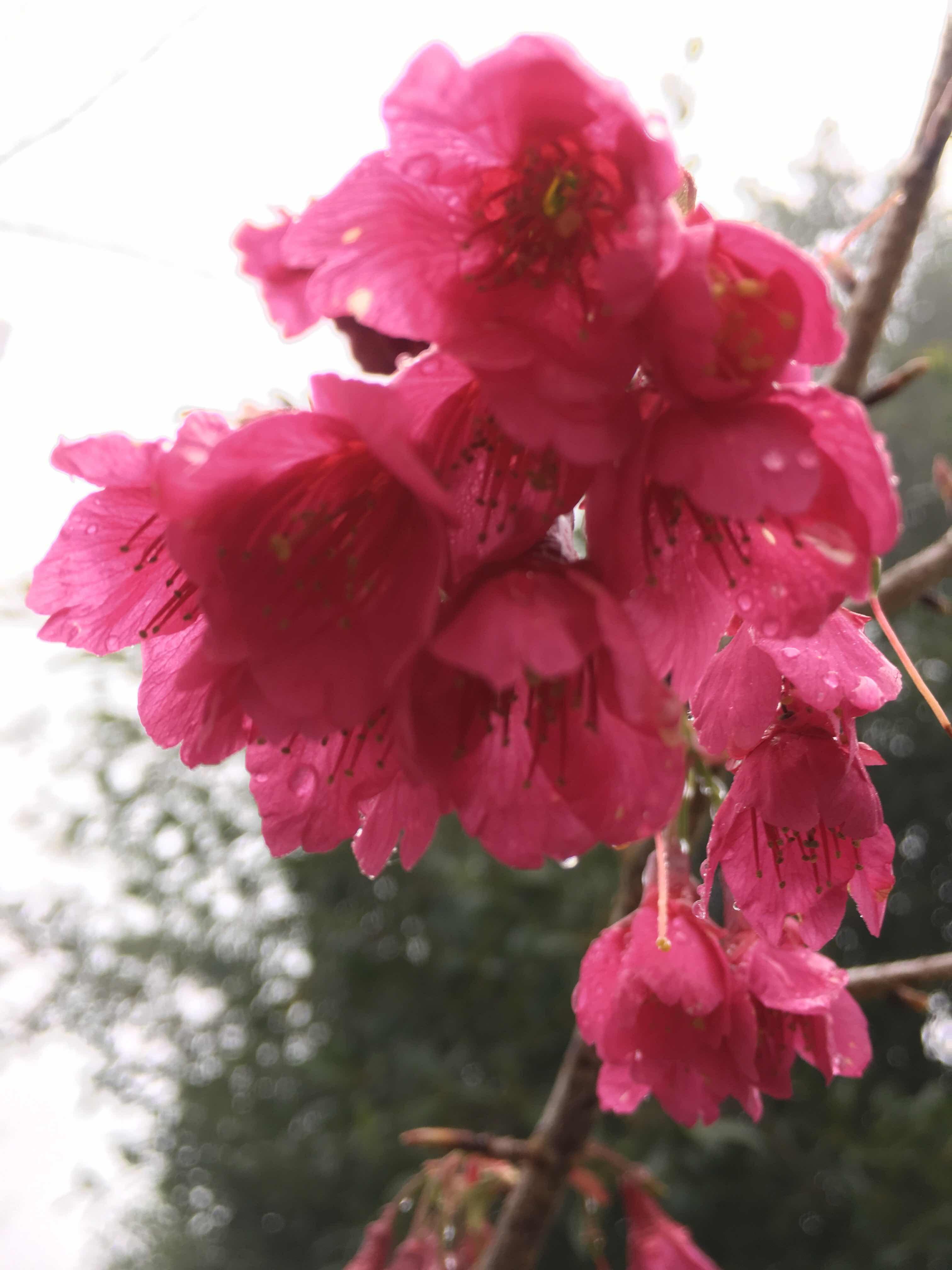 hehuanshan nantou taiwan cherry blossom