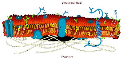 कोशिका झिल्ली (cell membrane) क्या है - निर्माण, काम, दूसरा नाम, अंतर