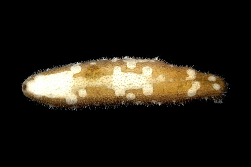 Bohadschia marmorata. Kosrae, Federated States of Micronesia.