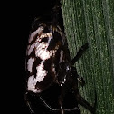 Long jawed orb Weber