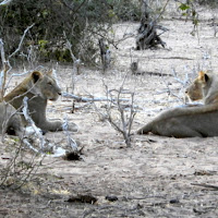 Lions in Chobe game reserve