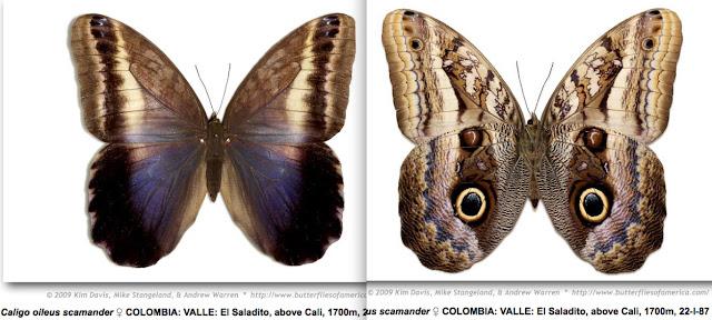 Caligo oileus scamander (Boisduval, 1870) ♀. http://butterfliesofamerica.com/L/imagehtmls/Nymph/Caligo_oileus_scamander_F_COL_VALLE_El_Saladito_above_Cali_1700m_22-I-87-MGCL-0038_i.htm