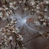 milkweed-seed-and-goldenrod_MG_2581-copy.jpg