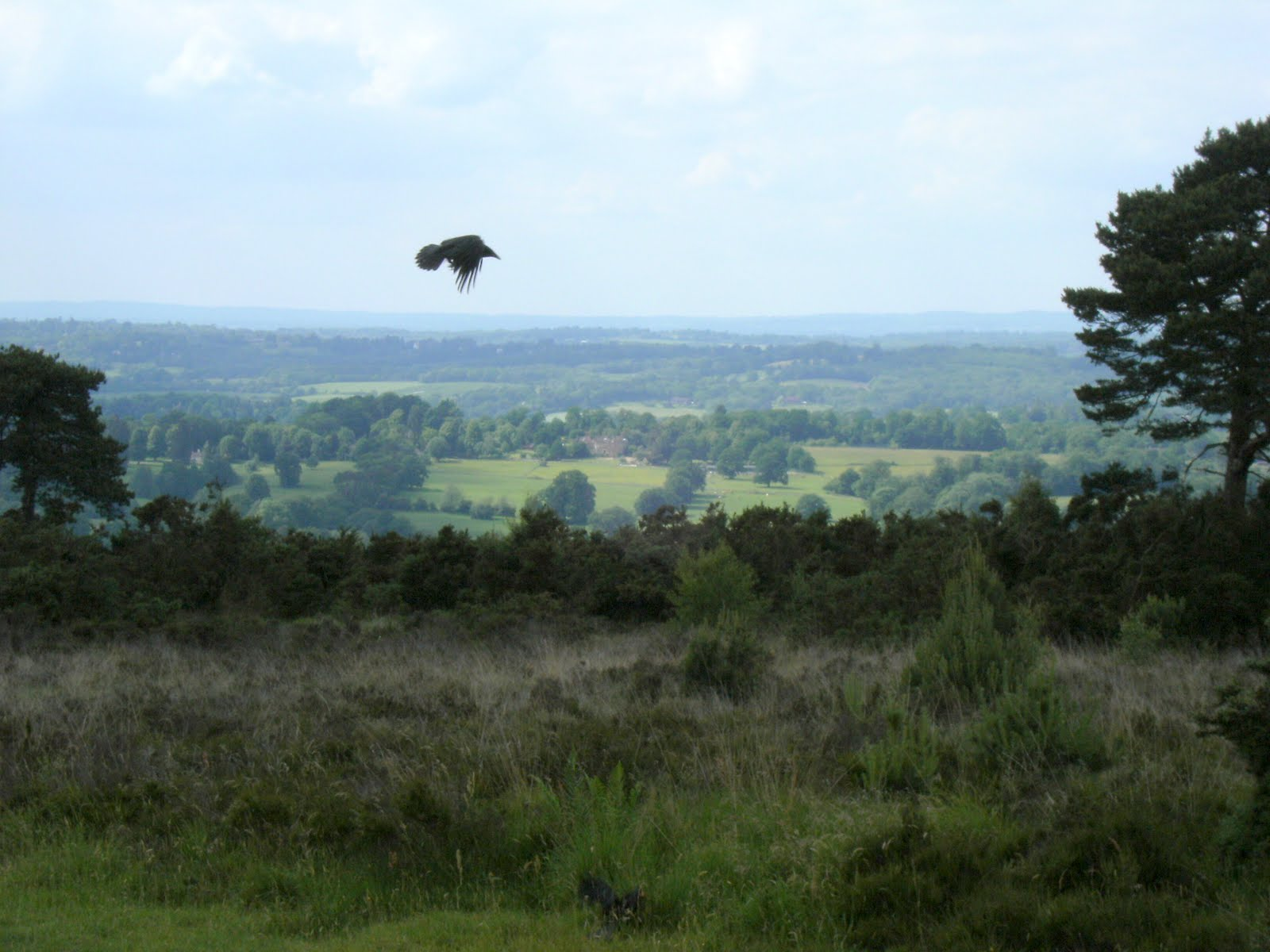 1006120048 Crow over Ashdown Forest