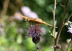 Skovperlemorsommerfugl.4.jpg