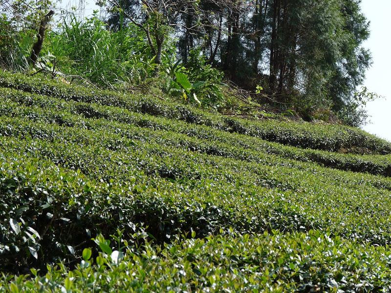 Ylan County.plantations de thé
