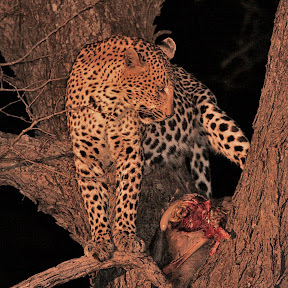 Female Leopard at Dinner, South Africa