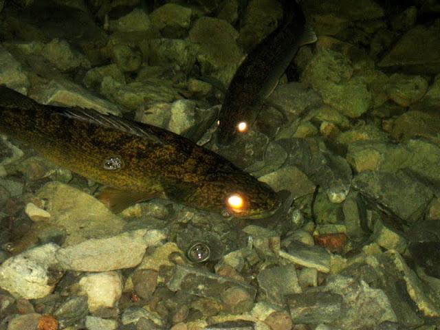 Walleye spawning - Matthew Garvin
