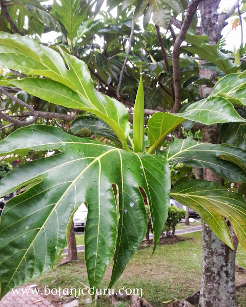 Artocarpus altilis, Breadfruit leaves